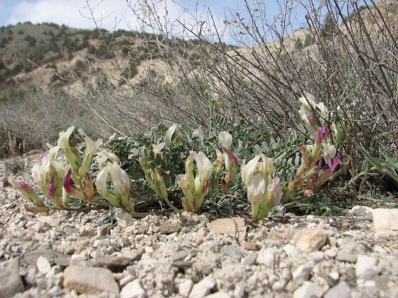 Astragalus cf. sanguinolentus