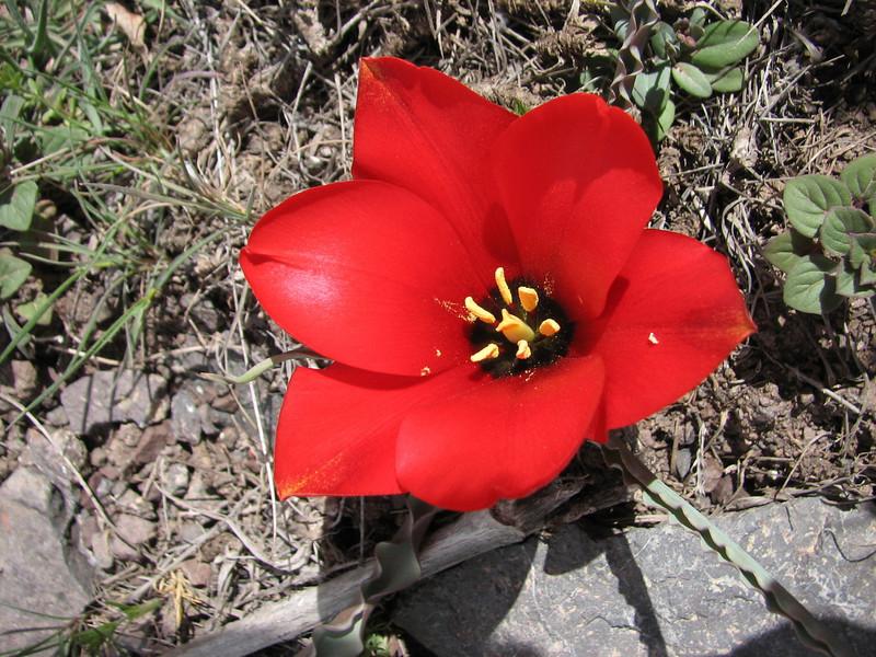 Tulipa wilsoniana (syn. montana) - (Large Bag) 50 BULBS