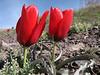 Tulipa montana (Iran, Tehran, Elburz mountains, Saidabad - Firuzkuh 1)
