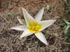 Tulipa cf biflora