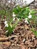 Allium paradoxum