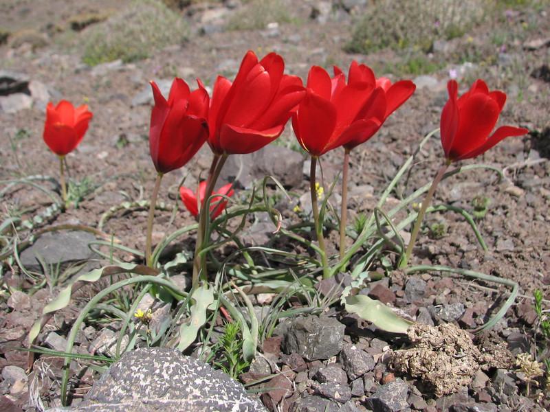 Tulipa cf montana, DNA near T. sapfii, unnamed spec