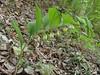 Polygonatum glaberrimum