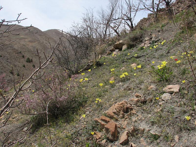 Tulipa montana var. chrysantha,