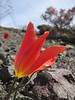 colour variation Tulipa montana (Iran, Tehran, Elburz mountains, Saidabad - Firuzkuh 1)