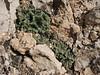 Rosularia persica