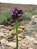 Leopoldia caucasica