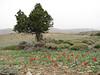 Tulipa montana & Juniperus excelsa