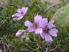 Geranium persicum
