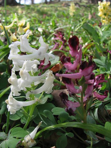 "Corydalis marchalliana var. ""Alba"""