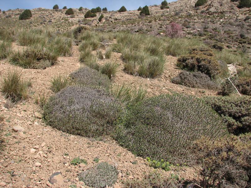 Habitat of Acantholimon demawendicum