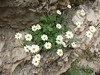 Tanacetum persicum