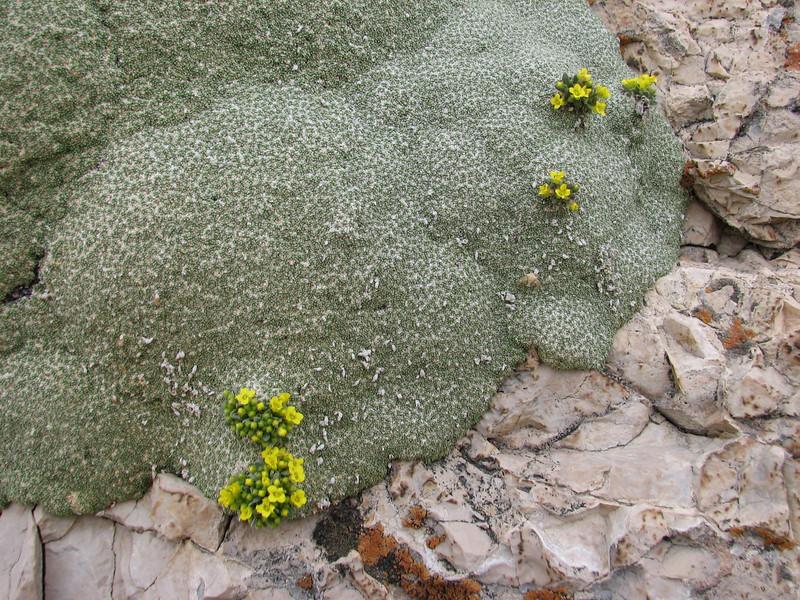 Dielsiocharis kotschyi growing in cushion Gypsophila aretioides