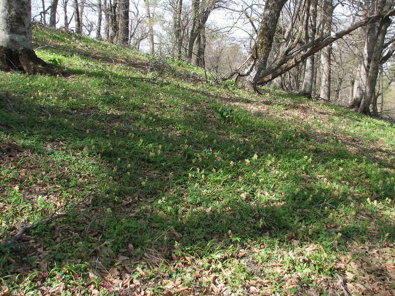 Corydalis marchalliana and Fritillaria kotschyana ssp. grandiflora