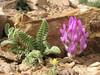 Astragalus nanus