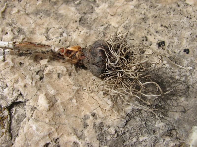 bulb of Tulipa cf montana