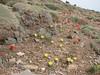 habitat of Tulipa montana var. chrysantha (yellow) and Tulipa montana (red)
