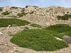 Juniperus sabina & Acantholimon embergeri & Gypsophila aretioides