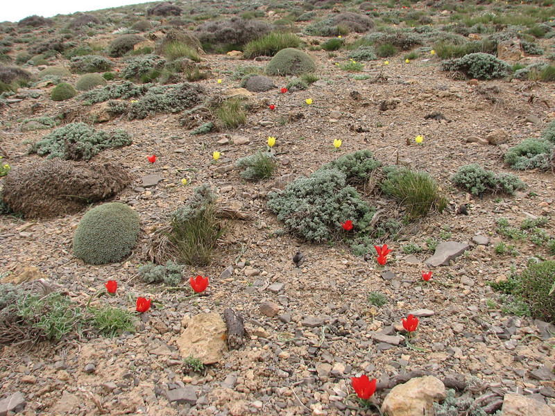 Tulipa montana & Tulipa montana var. chrysantha