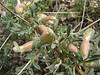 Astragalus glaucacanthos