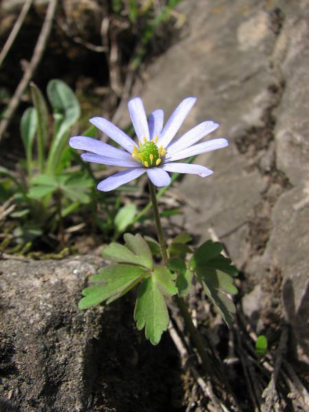 Anemone caucasica