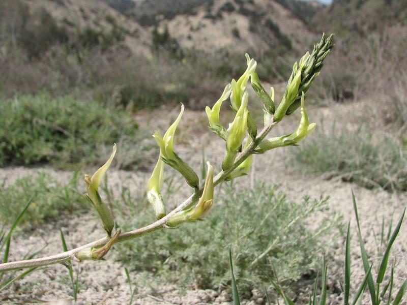 Astragalus cf. campulosema