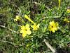 Jasminium fruticans