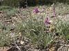 Stachys turcomanica