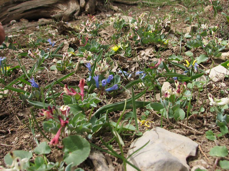 habitat with Corydalis chionophylla, Hyacinthus transcaspicus, Corydalis chionophylla ssp. firouzii, Ranunculus kochii