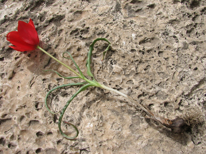 Tulipa cf montana, slender plant with narrow leaves, unnamed spec