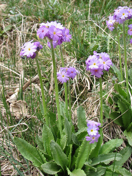 Primula auriculata (Iran, Semnan, Elburz mountains, 50 km W of Sharud)