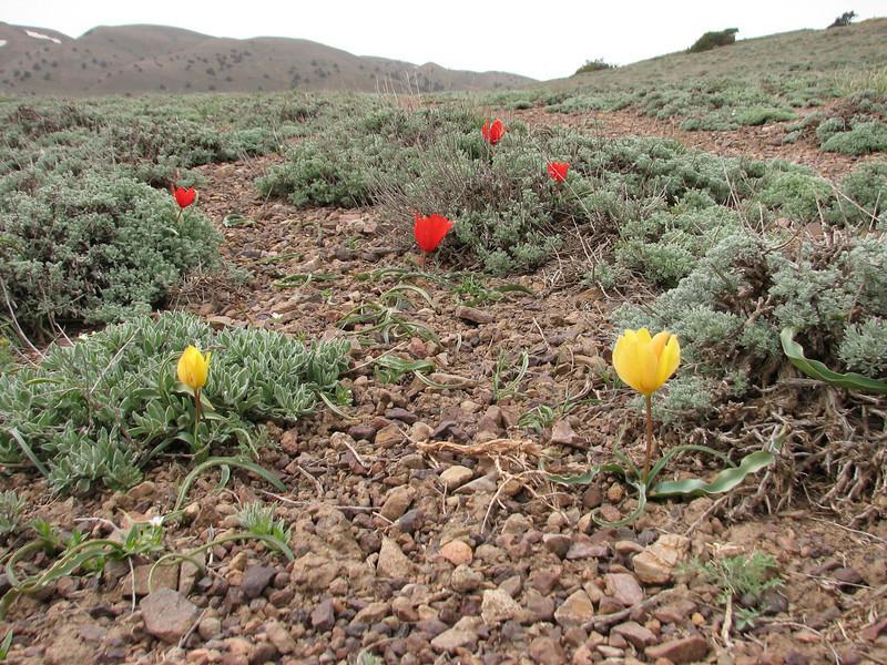 Tulipa montana var. chrysantha & Tulipa montana