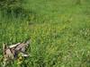 Rhynchocorys elephas