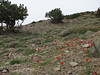 habitat of Tulipa montana  and Juniperus excelsa