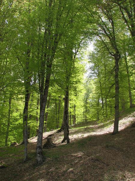 beechforest