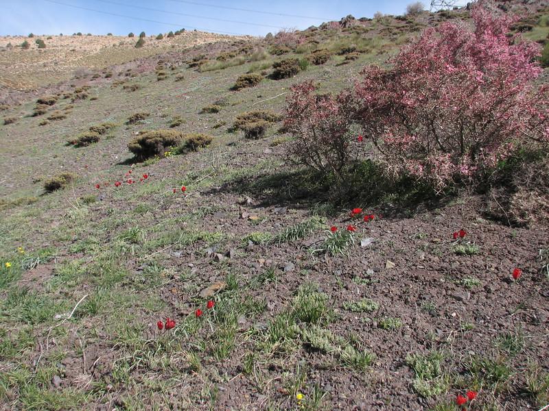 Amygdalus orientalis & Tulipa montana