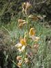 Onobrychis radiata
