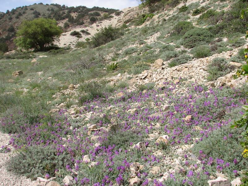 habitat of Astragalus nanus