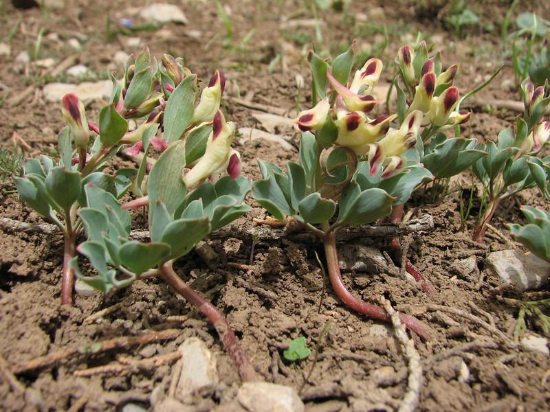 Corydalis chionophylla ssp. firouzii