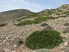 Juniperus sabina & Onobrychis cornuta