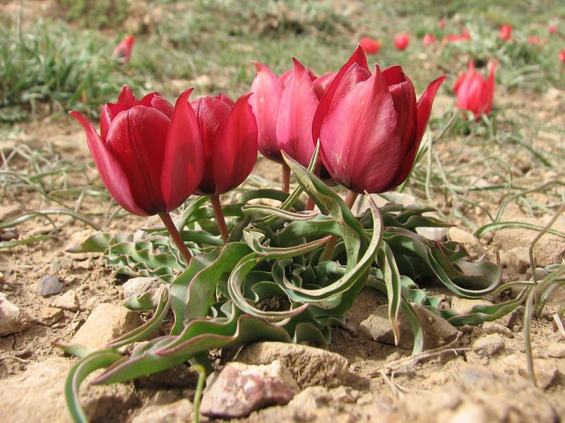 the purpish red flowered Tulipa ulophylla