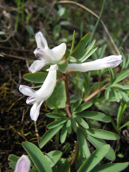 """Corydalis marchalliana """" Alba"""""""