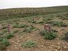 habitat of Matthiola alyssifolia