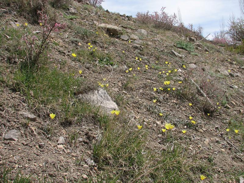 Tulipa montana var. chrysantha