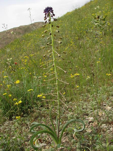 Leopoldia longipes