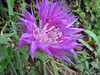 Centaurea spec. (Iran,Gilan, Elburz mountains, above Masuleh near Fuman 2300m (4)
