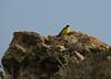 Emberiza melanocephala (NL: zwartkopgors)(Iran, Azarbayjan-e-Gharbi, pass 2300m Ziveh-Kaveh near border Turkey - Iraq)(23)