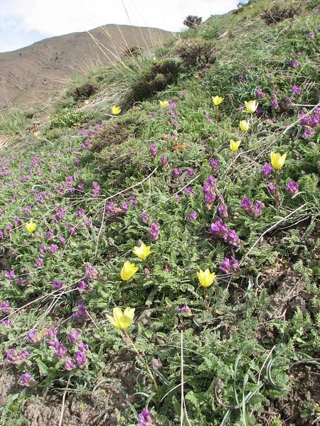 Tulipa montana var. chrysantha and Astragalus spec. (Iran, Tehran, Elburz mountains, Fasham pass 2800m (1)