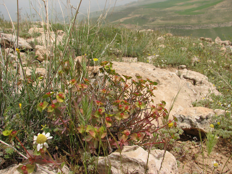 Euphorbia spec. (Iran, Azarbayjan-e-Gharbi, 5km SW of Shahin Dezh 1700-1800m (29)