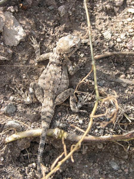 Paralaudakia caucasia, ID by Khosrow Rajabizadeh, (Iran, Qazvin, Sendan mountains, near Gilavan, W of Sefid Rud Reservoir (40)
